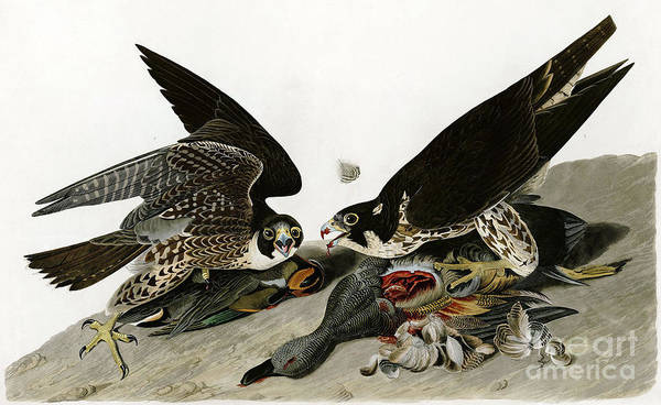 Drawing - Peregrine Falcons  by Celestial Images