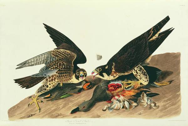 Aquatint Photograph - Peregrine Falcons by Natural History Museum, London/science Photo Library