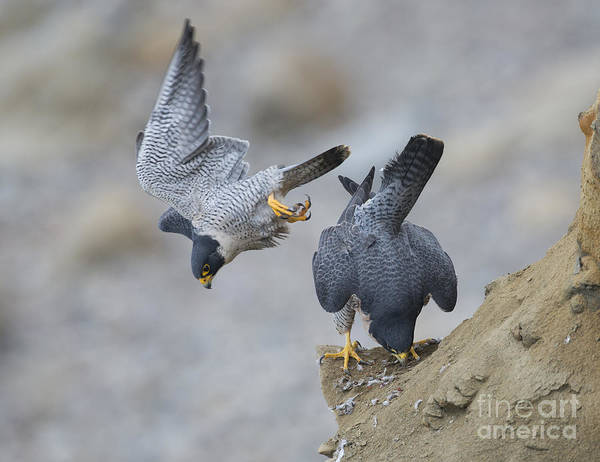 Falconiformes Photograph - Peregrines After Mating by Anthony Mercieca
