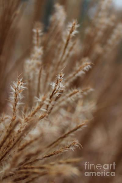 Pennisetum Photograph - Perennial Grass by Arlene Carmel
