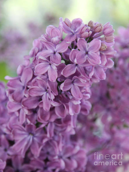 Lilac Photograph - Perfect Lilac by Jasna Buncic