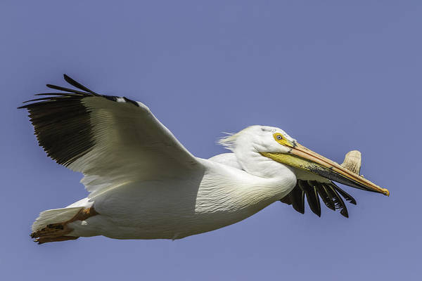 Photograph - Perfect Pelican Pose by Thomas Young