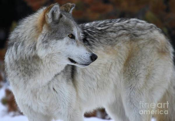 Alpha Wolf Wall Art - Photograph - Perfect Pose by Adam Jewell