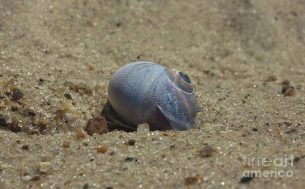 Photograph - Perfect Shell by Amazing Jules