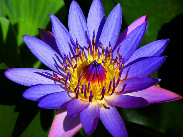 Photograph - Perfect Water Lily by Lynn Bauer