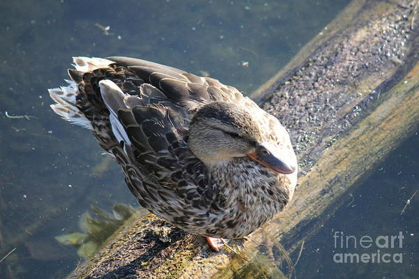 Photograph - Perfectly Ducky by Donna L Munro