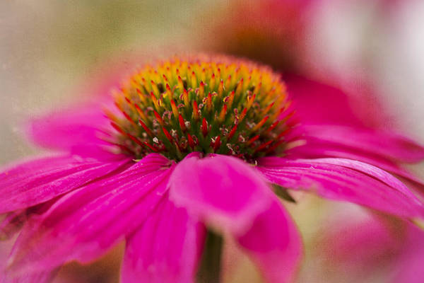 Photograph - Perfectly Pink. by Clare Bambers