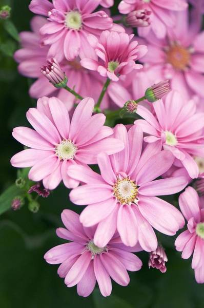 Asteraceae Photograph - Pericallis Cruentus Flowers by Maria Mosolova/science Photo Library