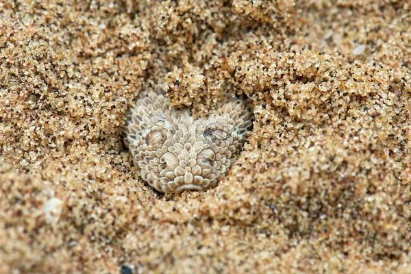Rattlesnake Photograph - Peringuey's Adder Submerged In Sand by Tony Camacho