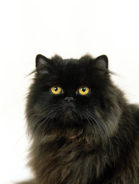 Long Hair Cat Photograph - Persan Noir by Gerard Lacz