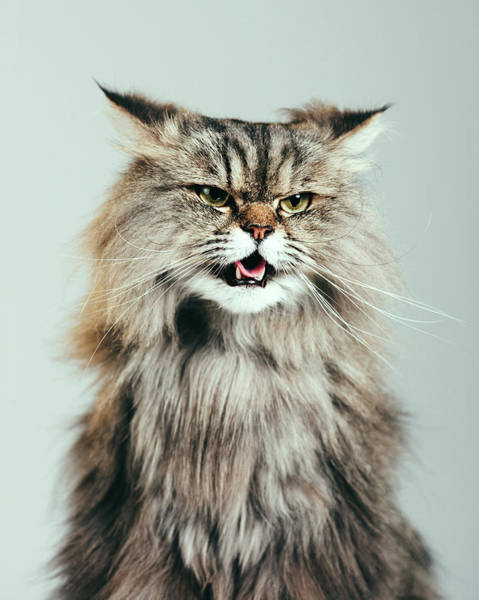 Long Hair Cat Photograph - Persian Cat Portrait by Sensorspot