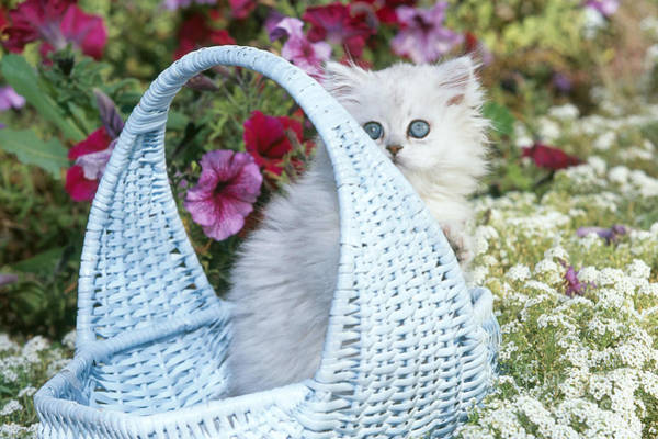 Photograph - Persian Kitten In Basket by Alan and Sandy Carey