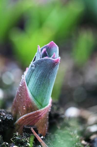 Persica Wall Art - Photograph - Persian Lily (fritillaria Persica) Shoot by Maria Mosolova/science Photo Library