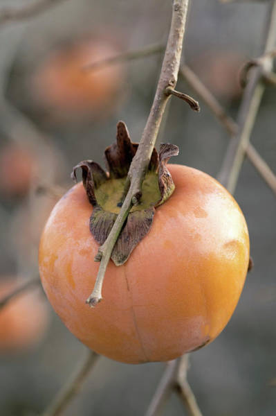 Wall Art - Photograph - Persimmon (diospyros Kaki) by Brian Gadsby/science Photo Library