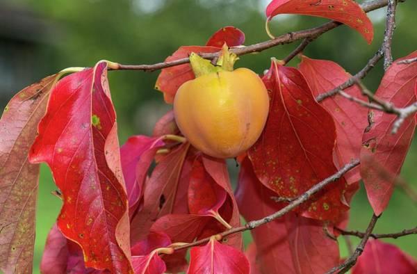 Wall Art - Photograph - Persimmon (diospyros Kaki) Fruit On Tree by Bob Gibbons/science Photo Library