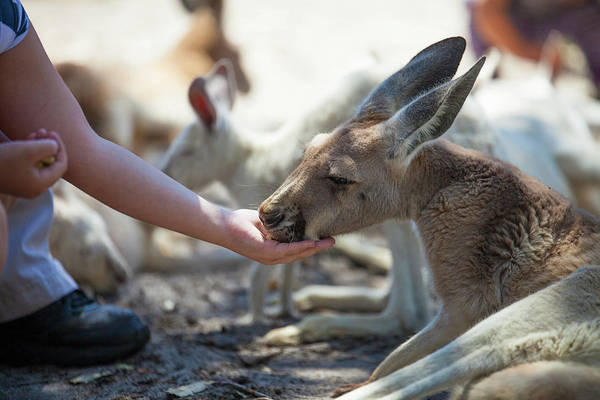 Petting Zoo Photograph - Person Feeding Kangaroo At Perth Zoo by Christopher Kimmel