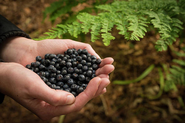 Bilberry Photograph - Person Holding Bilberries by Aberration Films Ltd