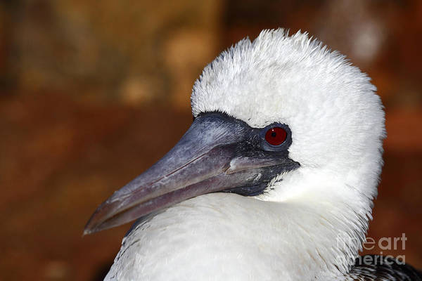 Photograph - Peruvian Booby Portrait by James Brunker