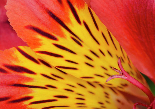 Alstroemeria Photograph - Peruvian Lily Abstract by Nigel Downer