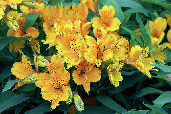 Peru Photograph - Peruvian Lily (alstroemeria Aurantiaca) by Neil Joy/science Photo Library