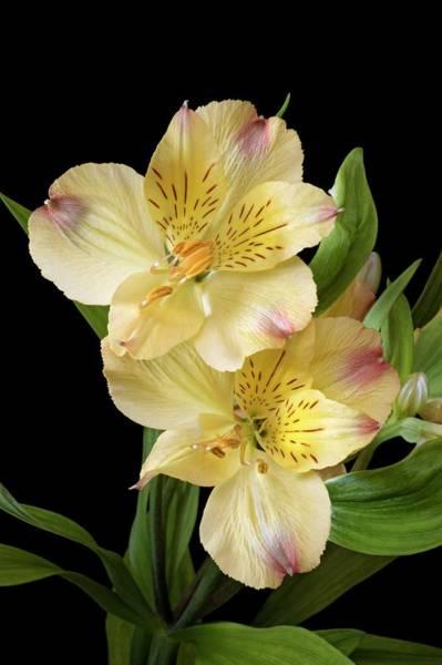 Alstroemeria Photograph - Peruvian Lily (alstroemeria X Hybrida) by Dr. Nick Kurzenko