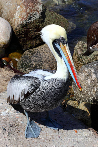 Photograph - Peruvian Pelican by James Brunker