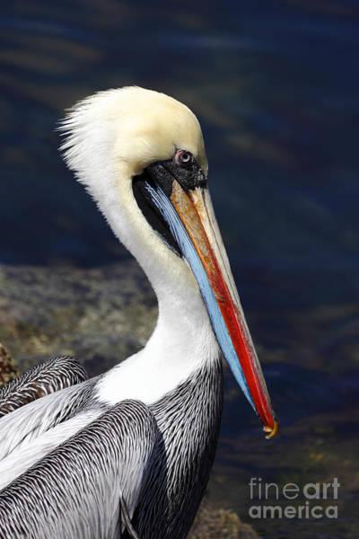 Photograph - Peruvian Pelican Portrait by James Brunker