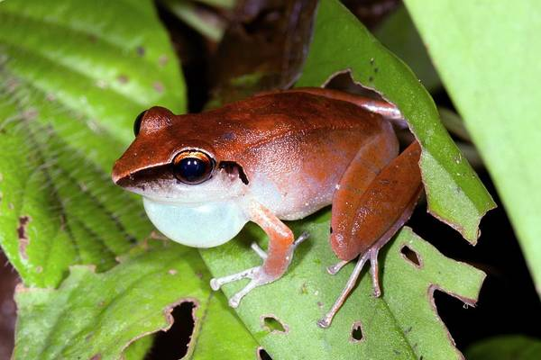 Peru Photograph - Peruvian Rain Frog by Dr Morley Read/science Photo Library