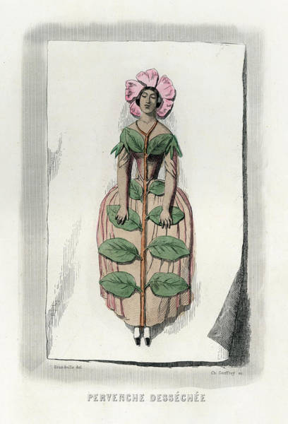 Wall Art - Drawing - Pervenche Dessechee Periwinkle, Dried by Mary Evans Picture Library