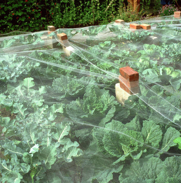 Vegetable Patch Wall Art - Photograph - Pest Protection by Robert Brook/science Photo Library