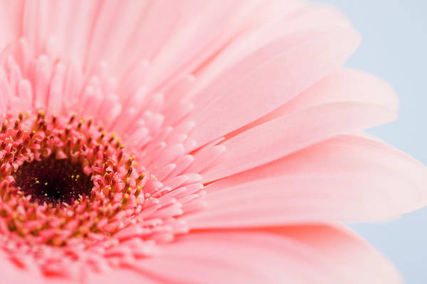 Petal Photograph - Petals And Head Of Pink Daisy by Vstock