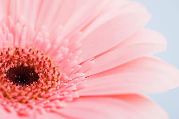 Daisy Photograph - Petals And Head Of Pink Daisy by Vstock