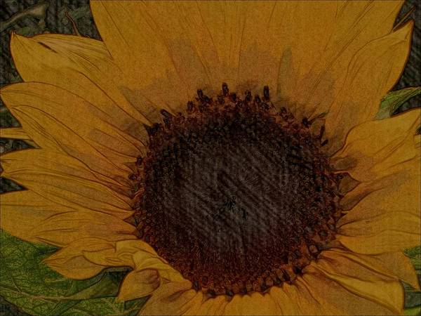 Sunflower Seeds Drawing - Petals From The Sun by Constance Carlsen