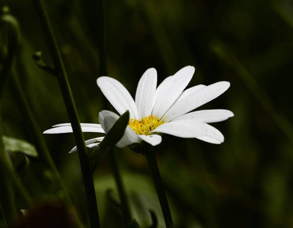 Photograph - Petals Of White by Lori Tambakis