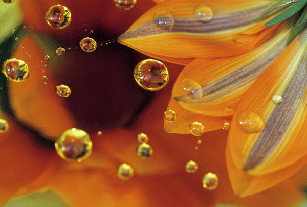 Bubble Up Photograph - Petals On Mylar Reflective Surface by Jaynes Gallery