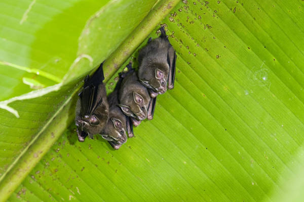 Carrillo Photograph - Peters Tent-making Bats Roosting  Costa by Konrad Wothe