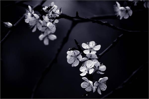 Cherry Photograph - Petite Fleur De Mes Nuits by Celinem