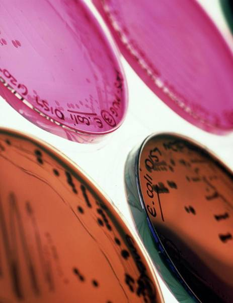 Escherichia Coli Wall Art - Photograph - Petri-dish Culture Of Escherichia Coli 0157:h7 by Tek Image/science Photo Library