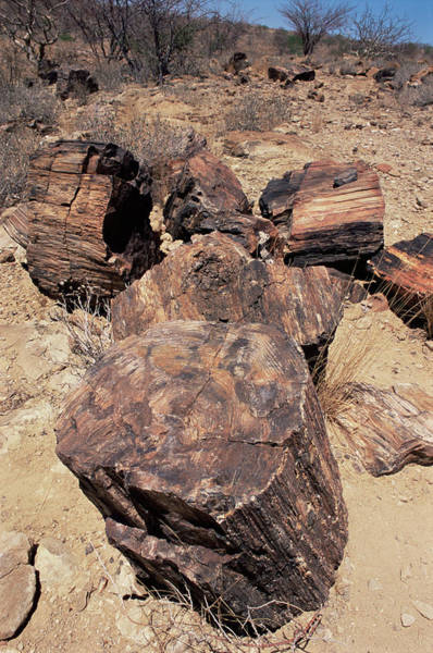 Petrified Wood Photograph - Petrified Wood by Sinclair Stammers/science Photo Library