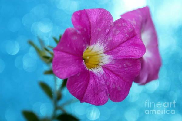 Petunia Photograph - Petunia Blues by Krissy Katsimbras