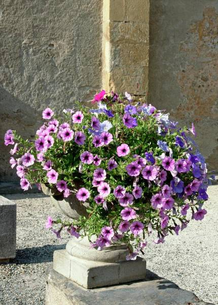 Petunias Photograph - Petunia 'cascade' by Brian Gadsby/science Photo Library