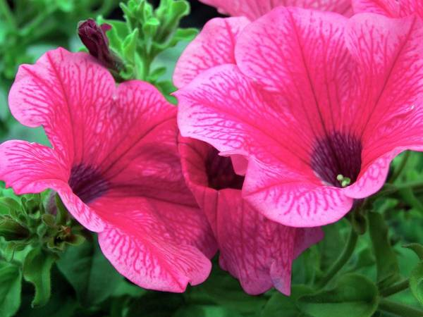 Petunias Photograph - Petunia 'crazy Pink' by Ian Gowland/science Photo Library