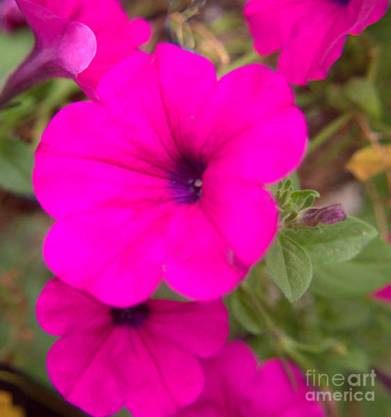 Wall Art - Photograph - Petunia Delight by Luther Fine Art