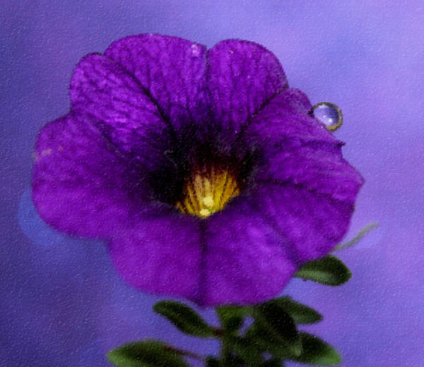 Petunia Photograph - Petunia Dream by Krissy Katsimbras
