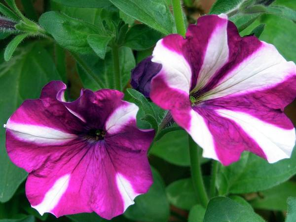 Petunias Photograph - Petunia 'easy Wave' by Ian Gowland/science Photo Library