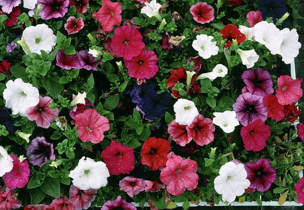 Petunias Photograph - Petunia F2 Hybrids Mixed by Maurice Nimmo/science Photo Library