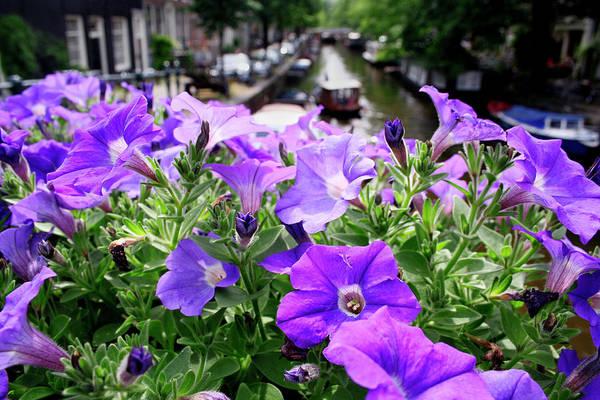 Petunias Photograph - Petunia Flowers by Chris Martin-bahr/science Photo Library