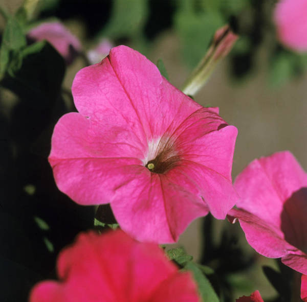 Wall Art - Photograph - Petunia by Jeanne White