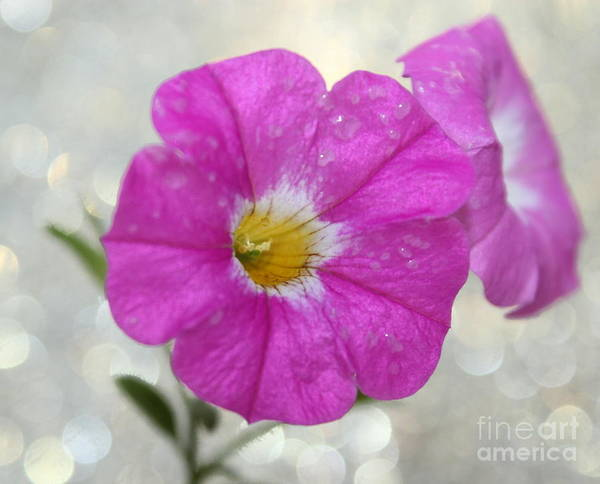 Petunias Photograph - Petunia Magic by Krissy Katsimbras