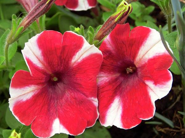 Petunias Photograph - Petunia 'peppy Red' by Ian Gowland